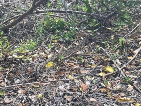 Large diamondbacked rattlesnake we found on a hike, gave us a warning rattle
