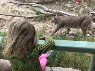 The infamous bobcat