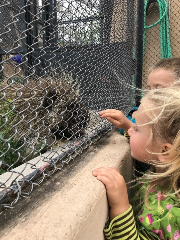 Nose to nose with a porcupine
