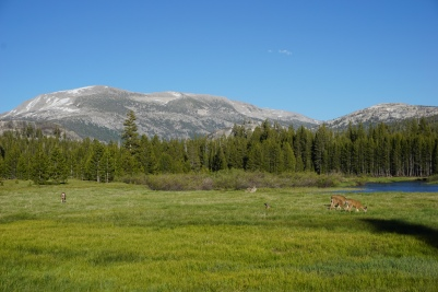 Deer grazing as we said goodbye to Tuolumne